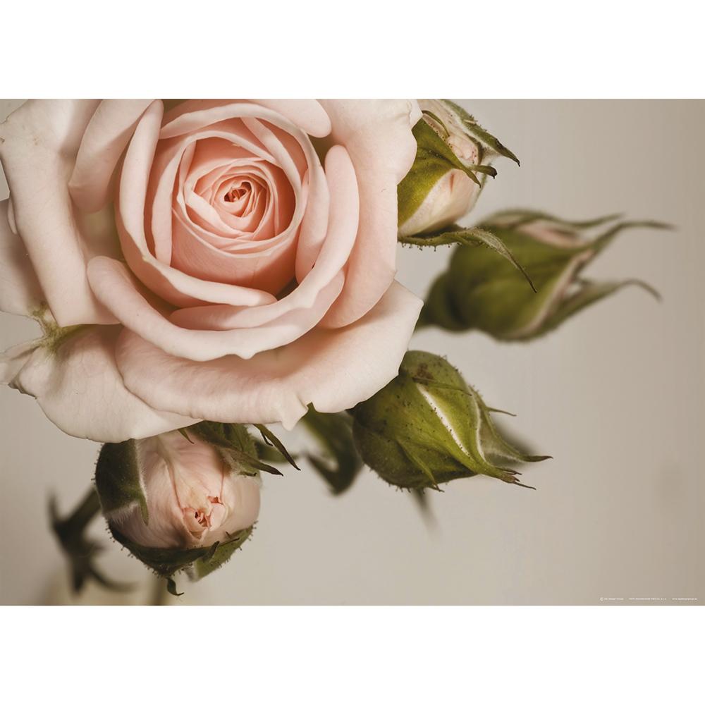 Фототапет Макси постер 160×115 см, 1ч., розова роза